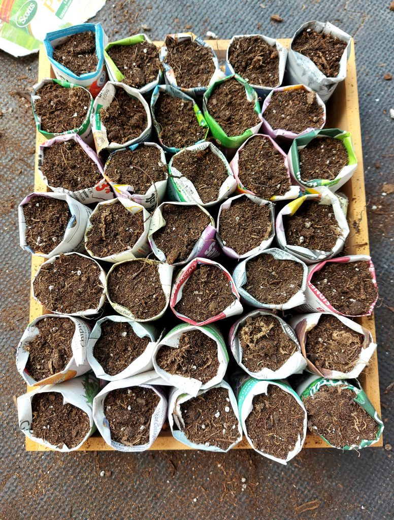 Newspaper seed starters in a tray top down view