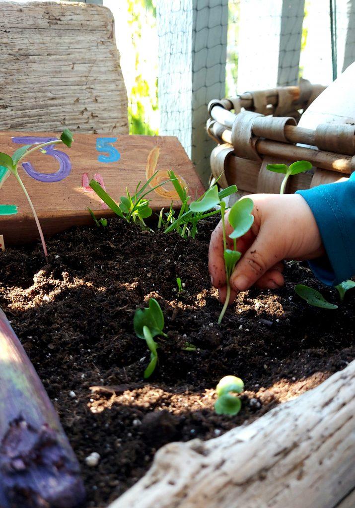 hand holding plant, planting into plantet